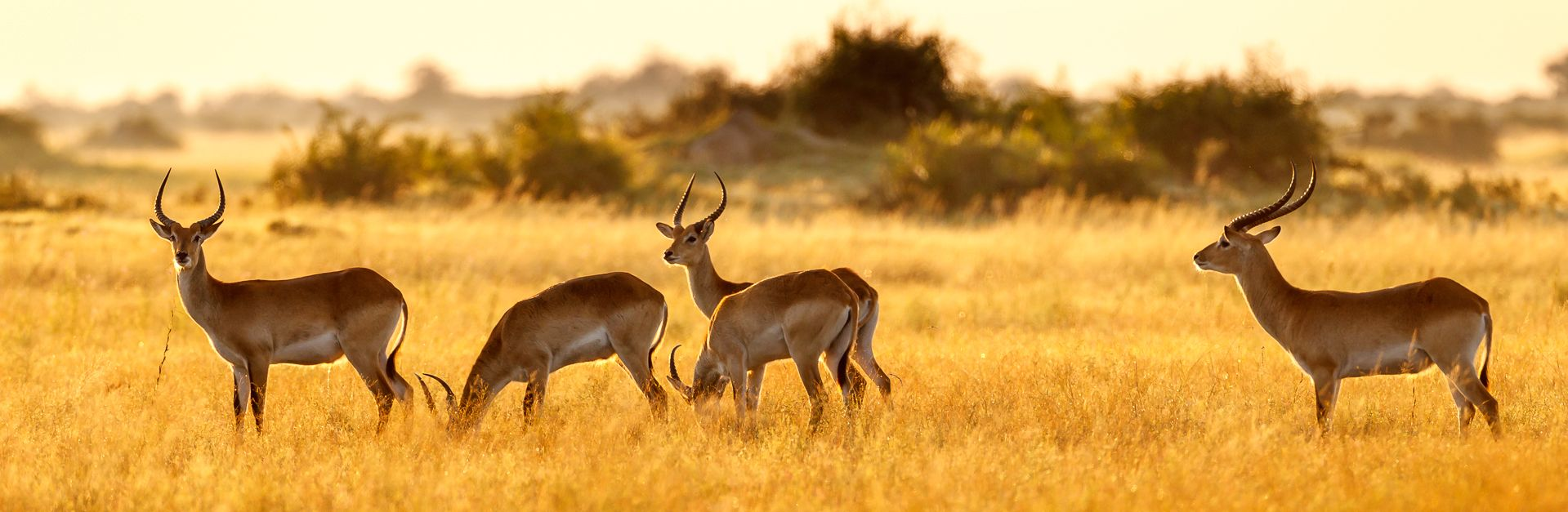 01 Red Lechwe in Golden Light