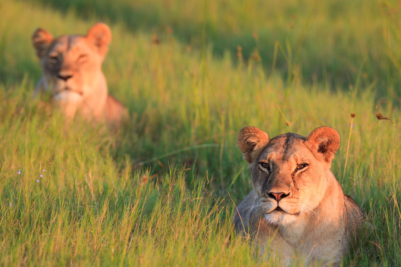 03 Lion Duo in Green Grass