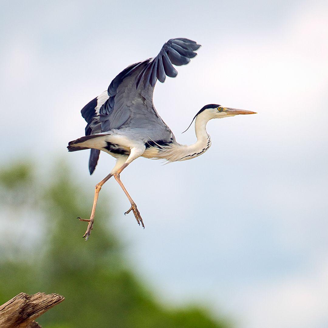 04 Grey Heron