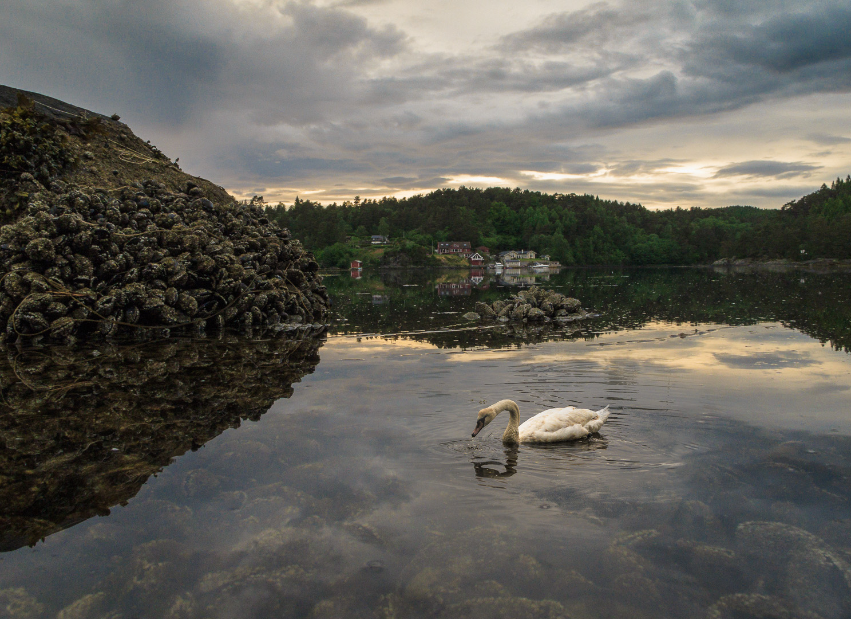 05 Evening Swan