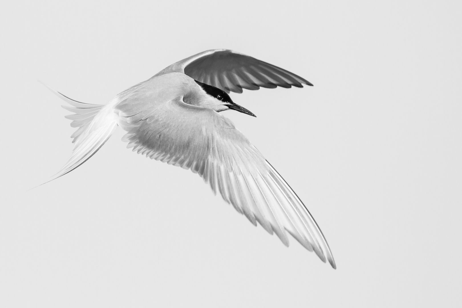 06 Arctic Tern in Flight